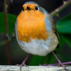 One of the many resident robins