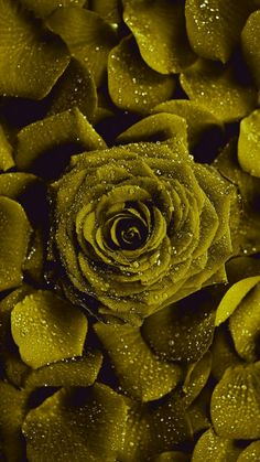 Rare Roses, Yellow Roses, Empty, Brown, Flowers, Display, Backgrounds, Royal Icing Flowers, Chocolates