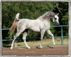 Shakir El Nefous, at the Arabians Ltd facilites in central Texas. Come see this beauty!