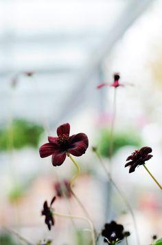 Chocolate flower   Cosmos atrosanguineus
