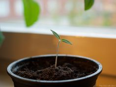 Learn how to mix the best soil for growing chili plants in containers. Key factors are good drainage, fertilizer, and pH testing and adjusting the soil.