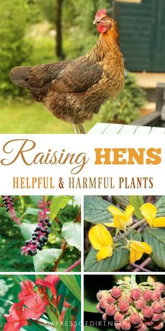 Chicken coop Helpful and harmful plants for backyard chickens. Watch what you grow to keep your hens Snacks For Chickens, Plants For Chickens, Keeping Chickens, Raising Chickens, Urban Chickens, Chicken Garden, Backyard Chicken Coops, Backyard Farming, Chickens Backyard