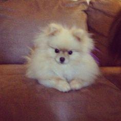 Sophie- Pomeranian, pom, puppy, dog, fluffy, cream Pom