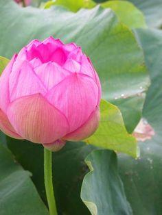 2014 三渓園の蓮の花 ~早朝観蓮会~ (本牧