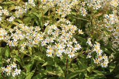 Camilla Hiley - Garden and Landscape Designer - Salisbury, Wiltshire UK Aster, Landscape Design, Planting Flowers, Daisy, Autumn, Garden, Plants, Fall, Garten