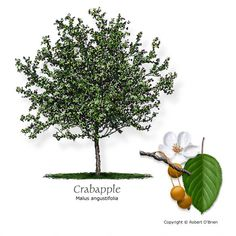 Common Name:	Crabapple Latin Name:	Malus spp. Tree Size:	Small Leaf Type:	Deciduous Growth Rate:	Slow Water Needs:	Moderate Tolerances:	Drought, alkaline soils (pH > 7.5) Attributes:	Texas native, reliable fall color, showy or fragrant flower, attractive seeds or fruit, seeds or fruit eaten by wildlife Features:	White, pink, or red flowers, followed by a small crabapple Comments:	Blanco Crabapple is endemic to the Hill Country. Many other cultivars available. Problems:	Aphids, fall webworm