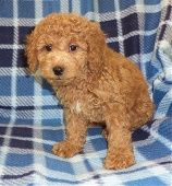 Poodle puppies for sale in PA with lifetime warranties at AA Ridgewood Kennels II! Poodle breed info and poodle puppies for sale in PA. New York Puppies.