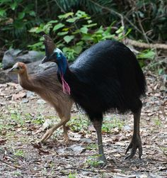 I always talk to the one at the National Zoo because she looks so grouchy and probably needs a friend. The Southern Cassowary - The Most Dangerous Bird on Earth ~ The Ark In Space List Of Birds, Kinds Of Birds, Beautiful Birds, Animals Beautiful, Cassowary Bird, I Like Birds, Flightless Bird, Australian Birds, Big Bird