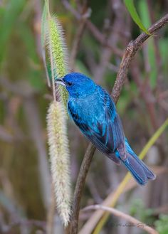 _53F8033 Indigo Bunting by ~ Michaela Sagatova ~, via Flickr