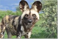 african wild dog - Google Search