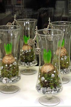 http://holmsundsblommor.blogspot.se/2013/11/hyacinter-i-glas.html Vita hyacinter i glas med mossa, pärlnålar och dekorationssten