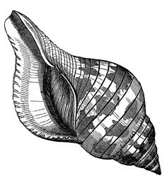 Seashells vintage images