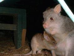 Ratto canguro rossiccio (Aepyprymnus rufuscens)Marsupiali d'Australia: la classificazione del canguro, il koala e il diavolo della Tasmania