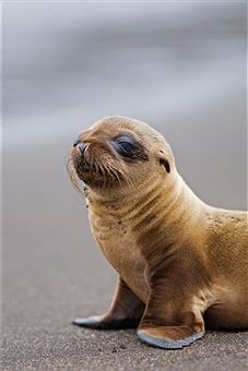 Sea Lion Pup - Galapagos Islands   I would love it and squeeze it and call it george : )