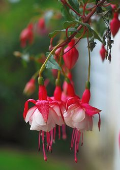 My favorite flower... Fuchsias... You know they will be all up in my garden when I'm a grown up
