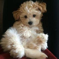 cute dog puppy malshi