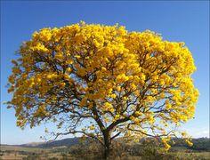 O ipê-amarelo é uma árvore originária do Brasil