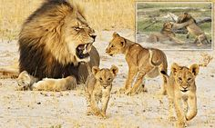 """HALLELUJAH!!!!!!!!!!!!!!  """"Saved... for now: Cecil the lion's cubs are being protected by his BROTHER after fears rival male will kill them and take over the pride, says Oxford University expert"""""""