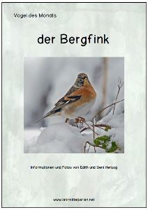 Vogel des Monats: der Bergfink