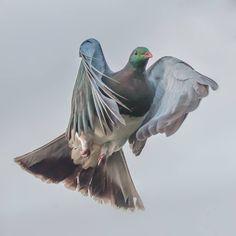 new zealand pigeon (kereru). Exotic Birds, Colorful Birds, Wood Pigeon, Pigeon Loft, Pigeon Tattoo, Racing Pigeons, New Zealand Art, All Birds, Bird Drawings