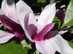 spätblühende Magnolie Rose, Garden, Flowers, Plants, Magnolia, Garten, Gardening, Floral, Roses