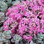Botanical name: Sedum ewersii var. homophyllum 'Rosenteppich'    Other names: Stonecrop 'Rosenteppich', Sedum ewersii var. homophyllum 'Rose Carpet', Sedum cyaneum 'Rose Carpet' Click image to learn more, add to your lists and get care advice reminders each month.