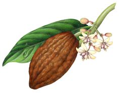 Watercolor painting of a cacao plant with leaf, flowers and brown fruit pod.