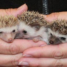 Three Baby Hedge Hogs