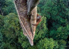 A photo of an orangutan climbing high into a tree wins wildlife award http://www.bbc.co.uk/news/science-environment-37693214