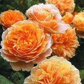 Crown Princess Margareta | Garden Roses