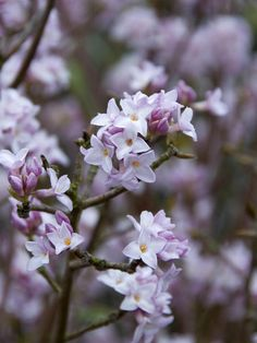 Plants That Flower in Winter - wishing I had more of these!  e.g.Daphne bholua