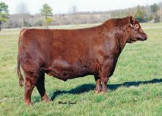 Brown JYJ Redemption Y1334.  2014 calving for our reds.