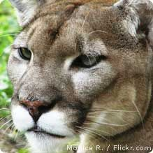 There are fewer than 200 Florida panthers left in the wild, making it one of the country's most critically endangered species. Federal conservation programs have been crucial in preventing the Florida panther from going extinct, but now these and many other programs important to wildlife conservation are at risk of getting cut by Congress. Help save the Florida panther by sending a message to your members of Congress, urging them to oppose cuts to crucial conservation programs.