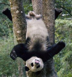 A Panda stuck upside-down in a tree