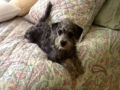 Silver AKA Stella is an adoptable Poodle Dog in Mishawaka, IN. Stella came to us from a kill shelter in Indiana where her time was up. She is a wonderful girl who loves people & other dogs. She has be...