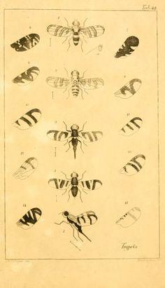 T. 5 - Systematische Beschreibung der bekannten europäischen zweiflügeligen Insekten / - Biodiversity Heritage Library