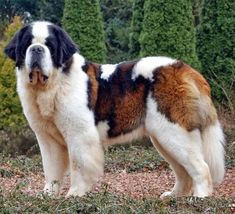 The 10 largest Dog Breeds.. Click the picture for complete list