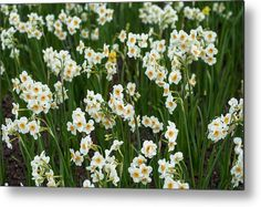 Narcissus Tazetta Metal Print by Jenny Rainbow. All metal prints are professionally printed, packaged, and shipped within 3 - 4 business days and delivered ready-to-hang on your wall. Choose from multiple sizes and mounting options. Fine Art Prints, Framed Prints, Beautiful Flowers Garden, Got Print, Any Images, Botanical Gardens, Spring Flowers, Fine Art Photography, Tulips