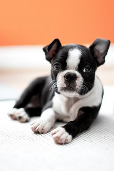 Boston Terrier Puppy/ what our Maggy Moo used to look like  Awesome breed of dog if any of you are looking to get one:)