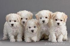 Bochon Frise´s puppys