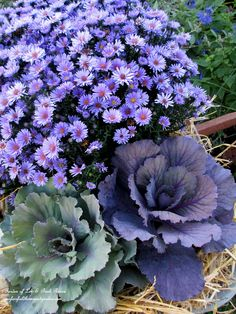 Asters and ornamental cabbage in the wheelbarrow. (Garden of Len & Barb Rosen) Two of our most favorite fall flowers look great together! Beautiful Gardens, Beautiful Flowers, Fruits Decoration, Flowering Kale, Ornamental Cabbage, Fall Containers, Seasonal Flowers, Fall Flowers, Purple Flowers