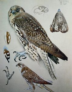 Study of a Juvenile Falcon Charles Frederick Tunnicliffe 1901 – Illustration Sketches, Botanical Illustration, Nature Illustration, Scientific Drawing, Nature Artists, Royal College Of Art, Bird Artwork, Bird Drawings, London Art