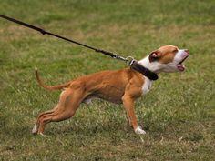 Pit Dog, Dog Breeders, American Pitbull, American Staffordshire, Cane Corso, Pitbull Terrier, Pit Bull, Chart, Big