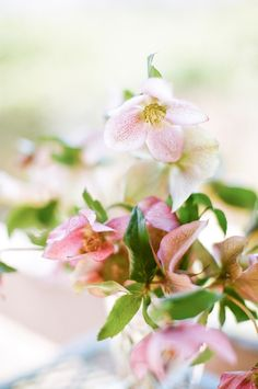 75 best blush light pink flowers images on pinterest beautiful hellebore pictures and some info via florabundance flower supplier mightylinksfo