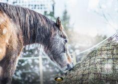 Horse feeding on hay net on frosty winter day with snow Horse Feed, Horse Supplies, Winter Day, Snow, Horses, Animals, Animales, Animaux, Animal