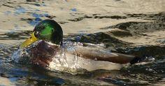ITAP of a duck http://ift.tt/2kSSfKS