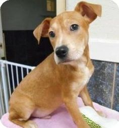 Bartonsville, PA - Feist Mix. Meet Samson a Puppy for Adoption  w/ Hope for Hannah Rescue hopeforhannahrescue@gmail.com