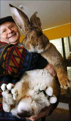 Meet the World's Biggest Rabbit:  This rabbit's name is Herman and he lives with his owner, Hans Wagner, in Berlin, Germany.    German Giants are domestic rabbits. They do not exist in the wild and can live as long as 12 years. Herman can eat a bale of hay per week. He weighs in at 22 pounds and measures a little over 3 feet.