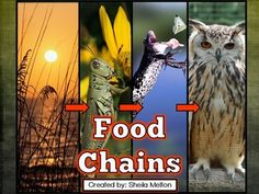 This interactive Food Chains PowerPoint includes all real pictures of animals that the kids love looking at! It features opportunities for students to apply what they are learning through questions and interactive food chain activities that allow students Primary Science, 4th Grade Science, Elementary Science, Science Classroom, Teaching Science, Science Education, Teaching Ideas, Science Resources, Science Lessons