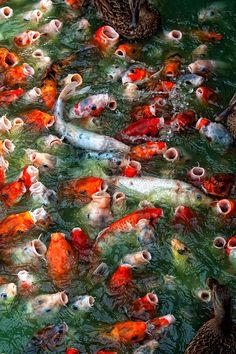 Hungry Koi by Douglas Walker Betta, Koi Art, Fish Art, Goldfish Pond, Le Zoo, Japanese Koi, Japanese Dragon, Pond Design, Fish Ponds